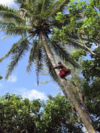 Papa Jack bounds up a soaring coconut palm on Motu Koromiri a skill performed so naturally by the Polynesian.