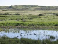 A flock of ducks glides along a patch of open water within the prairie that is Saskatchewan's Grasslands National Park.