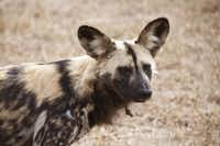 Rare African dogs also call  the HESC home.