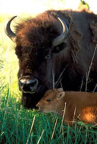 The official bison herd of the state of Texas makes its home amid 700 acres of Caprock Canyons State Park.