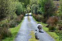 Even when you have your road to yourself in Ireland, you still have to share it with sheep.