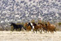About 60 wild horses roam the 32 square mile Diamond Tail Ranch used by New Mexico Jeep Tours.