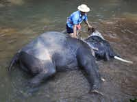 After feeding and before the show, the elephants take a bath and are scrubbed by their mahout (trainer) at the Maesa Elephant Camp in Chang Mai, Thailand on Jan. 21, 2013.