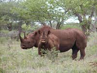 Photo released by U.S. Fish and Wildlife Service shows a black rhino male and calf in Mkuze, South Africa.