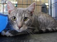Rex Age: 6 months Gender: male Breed: gray tabby This kingly kitty deserves such a regal name. Rex is strikingly handsome. But this is one kitty who doesn't think he's better than you. Rex prefers the simpler pleasures of life. He's happy to cuddle up with you for some long nights of TV watching. Rex may look like he should be king of your castle, but he's a real prince.Michael Kitkoski