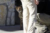 Winspear the cheetah takes a breather during a walk together with Chris Johnson, director of Animal Adventures outreach program at the Dallas Zoo.