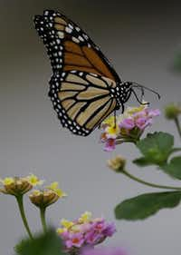 Lantana attracts many butterflies, including monarchs.Eric Gay  -  AP