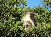 An adult vervet monkey holds a young one in the trees.