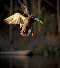 The mark of a good photographer is the ability to get a bird's eyes and beak in focus while it is in flight.