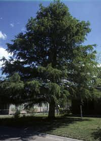 Bald cypress. It has become one of the most popular trees in the area over the last few years. It can grow in wet spots and tolerates unimproved clay as long as the soil is not compacted. Many of these trees went dormant during the drought, but once some rain fell, the dry, brown foliage renewed itself.
