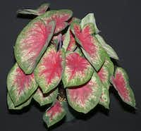 'Summer Rose' caladium developed by the University of Florida in Bradenton