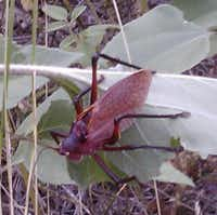 This red katydid was photographed this month in Hays County.