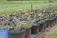 Colorful perennials prairie verbena and four-nerve daisy are being cultivated at Bluestem Nursery in Arlington.