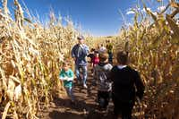 Pumpkinfest at Denver Botanic Gardens' Corn Maze, an eight-acre attraction.