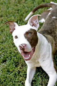 This is a dog from Paws in the City. Deep Ellum BarkFest benefits Paws in the City no-kill animal rescue, and Bark Park Central, a 1.2-acre off-leash dog park, where the celebration will take place.