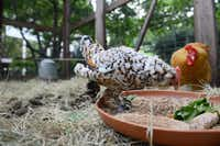 Gayla Russell's hens, Minnie and Lucy, are part of a habitat of animals that led to her backyard being named a Certified Wildlife Habitat by the National Wildlife Federation. It has native plants, natural sources of food, clean water and places to raise young for local wildlife.