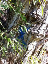 A blue X painted on the trunk of the state champion black willow tree near White Rock Lake has watchdogs concerned that the tree is targeted for removal. The city's forester says it's not.