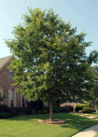 Chinquapin oak has arefined look. It is upright-oval as a young tree, broadening into a rounded plant at maturity. Its leaves are large, but not as large as those of bur oaks. This tree is readily available in the local independent retail nursery trade, almost always in containers, which means that you'll get all of the root system intact, for quicker establishment and growth.Photos submitted by NEIL SPERRY