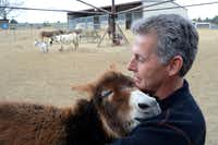 Ed Preston gives a little attention to Starpower, a two-foot-tall miniature donkey, at his ranch in Sunnyvale. Local miniature donkey farmers are getting a variety of satisfaction out of the business. Read the story on Page XX.