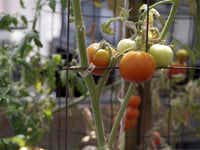 Tomatoes are currently growing in Waxahachie resident Dina Rolan's backyard greenhouse.