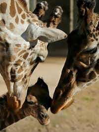 An 11-year-old female giraffe named Jacky, right, and a 6-year-old male giraffe named Buddy, left, interact with their newborn at the Buenos Aires' zoo in Argentina, Tuesday, July 16, 2013. The baby giraffe was born at the zoo on Friday, July 12, 2013.