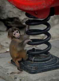 A baby Asian macaque monkey is seen in its enclosure at the Beijing zoo on June 24, 2013.  The zoo grounds were originally a Ming Dynasty imperial palace and finally opened to the public in 1908.