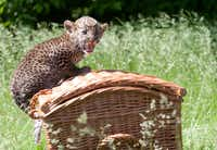 "A Javan leopard baby sits on a basket during its presentation to the press on June 7, 2013 at the Tierpark zoo in Berlin. The male animal was born on April 16, 2013 and was given the name ""Timang"" by its keepers."