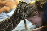 Point Defiance Zoo and Aquarium staff biologist Kadie Burrone offers her head as a climbing toy for an endangered clouded leopard cub,  Tien, during his afternoon feeding time in Tacoma, Wash., Monday, June 17, 2013.  The 4.6 pound cub, born May 1, can be viewed during feedings at daily in the zoo's Cub Den.