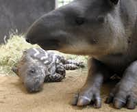 A baby tapir is pictured with its mother at the zoo of the French eastern city of Amneville, on July 8, 2013.