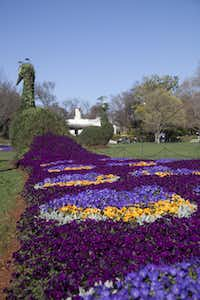 The 2014 edition of Dallas Blooms at the Dallas Arboretum features peacock topiaries.