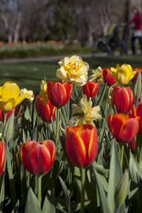 The 2014 edition of Dallas Blooms at the Dallas Arboretum features plenty of flowers.
