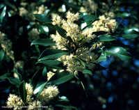 Cherry laurel, a large shrub native to East Texas, was used extensively in North Texas landscapes, often as a screen hedge. It has disappeared from retail nurseries.