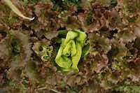 A variety of lettuce grows at Eden's Garden CSA Farm.