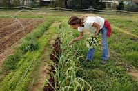 Marie Tedei, owner and operator of Eden's Garden CSA Farm, picked garlic plant leaves in March. CSA memebers pay up front and get a share of whatever crops are available.