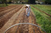 Matt Ostrokol picks lettuce at Eden's Garden CSA Farm.