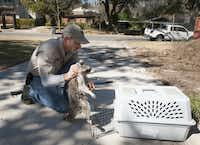 Bob Helton with 911 Wildlife, an animal removal company, picks up a raccoon suffering from distemper in the driveway of a home in Lakewood.