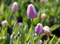 'Ollioules' tulip is a Darwin hybrid, an early-blooming class.