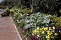 Bella Via is the walkway that connects the main entrance of the 63-acre garden to the Paseo, the main artery thru the Dallas Arboretum. The finely cut, silver-green leaves are cardoons, which produce edible stalks.
