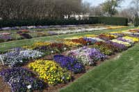 The trial garden's pansies and violas are in full color for Dallas Blooms' opening weekend.