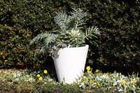 Silvery cardoon is having a moment as an ornamental plant in the U.S. In Italy, it is a staple of the vegetable garden.