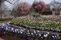 One of the most magnificent displays opening weekend is a vast bed in the central Jonsson Color Garden. Thickly planted hyacinths are in the foreground. In the circular raised bed behind them is a pretty palette of creamy daffodils and shades of pastel-to-deep-purple tulips. Note the happy echo of mauve in the Japanese flowering cherries in the distance.