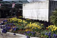 The main entrance to the arboretum displays a riotous mix of color in hyacinths, daffodils, tulips, pansies and other cool-loving plants. The spicy-sweet scent you detect is from the hyacinths.