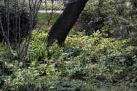 In a glade that is part of the Lay Ornamental Garden, look for the stand of subtle hellebores in the shade of a large tree. Evergreen and generally disease-free, the low-care perennial is an ideal ornamental for Dallas shade.