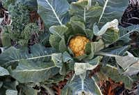 Cauliflower begins to grown at the community garden run by Community Unitarian Universalist Church.