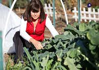 Carrie Dubberley of Plano, cuts broccoli from her plot at the Community Unitarian Universalist Church community garden.