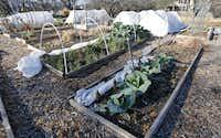The Community Unitarian Universalist Church runs a community garden in Plano.
