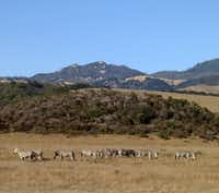 Zebras from the Hearst Ranch can be seen from the Pacific Coast Highway in San Simeon, Calif.