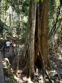 A 3,000-year-old strangler fig tree is seen in Springbrook National Park, Australia. Strangler figs grow by utilizing the nutrients of host trees they have killed, gradually filling in the void to become solid.