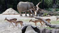 A zoo's who of savanna stars, including impalas and elephants, mingle in a 3.5 acre habitat at the Dallas Zoo. Merging different species in one exhibit was three years in the making.