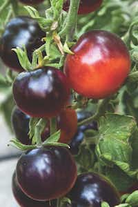 'Indigo Rose' was the first hybrid tomato with anthrocyanin. Created at Oregon State University, local and mail-order retailers may stock transplants in 2015. Seeds from some of the Indigo series already are available online.Matt Emrich